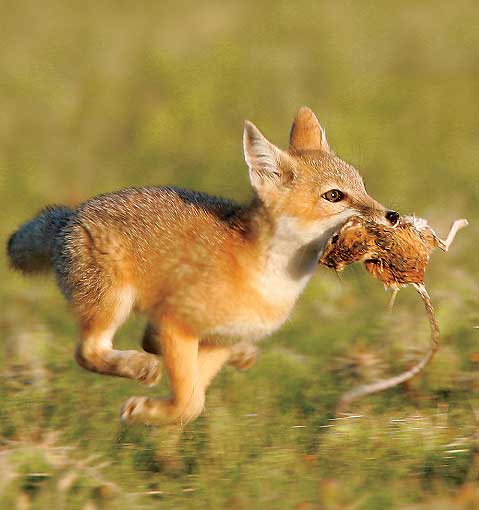 Swift Foxes - Fennec F...